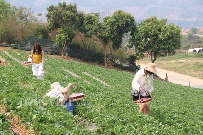 Bỏ lương 8 triệu về trồng dâu tây, soái ca nhà người ta lãi nửa tỷ-4