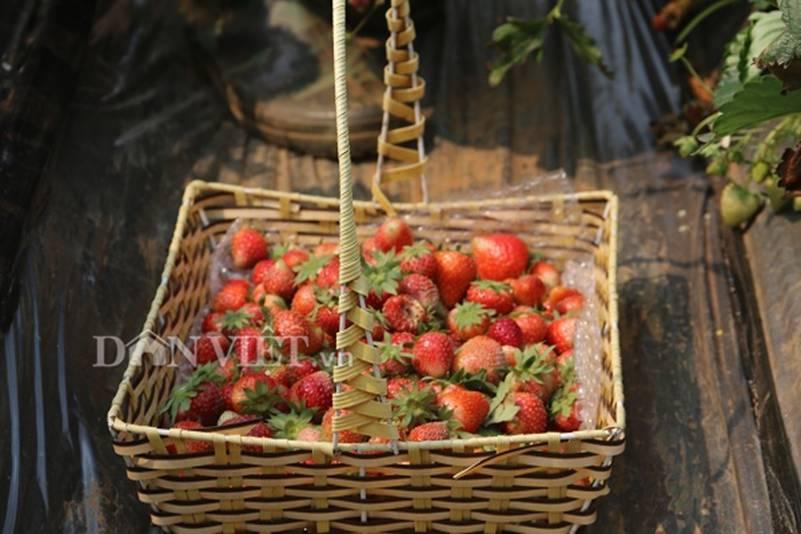 Bỏ lương 8 triệu về trồng dâu tây, soái ca nhà người ta lãi nửa tỷ-5