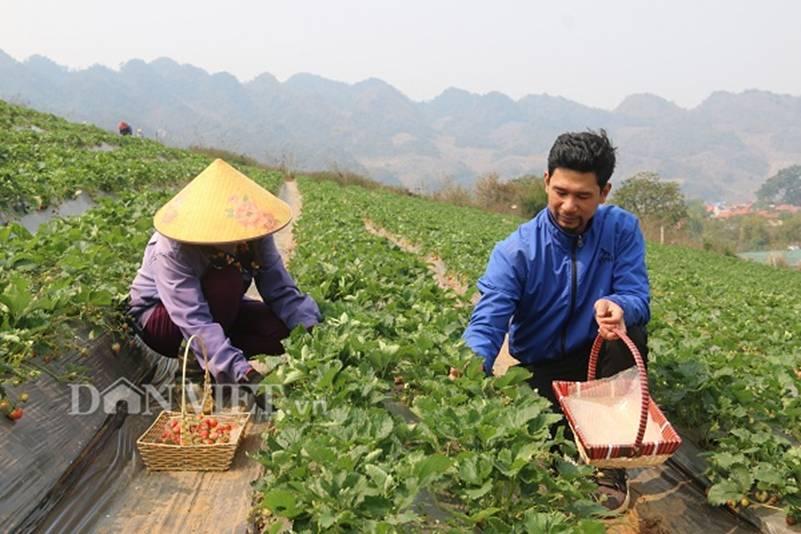 Bỏ lương 8 triệu về trồng dâu tây, soái ca nhà người ta lãi nửa tỷ-6