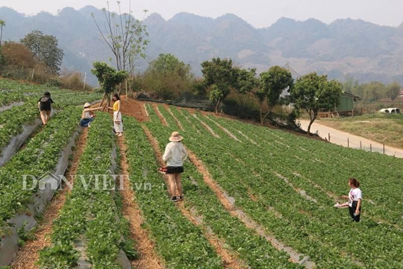 Bỏ lương 8 triệu về trồng dâu tây, soái ca nhà người ta lãi nửa tỷ-7