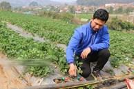 Bỏ lương 8 triệu về trồng dâu tây, 'soái ca' nhà người ta lãi nửa tỷ