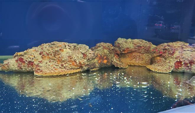 Cá xấu xí, toàn thân xù xì như đá... bán 10 triệu đồng/con ở Hà Nội-2