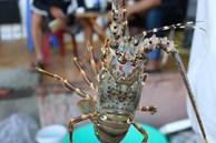 Chủ cửa hàng bán hải sản ở Hà Nội chỉ dẫn bà nội trợ cách phân biệt 5 loại tôm hùm để không bị chặt chém khi đi chợ