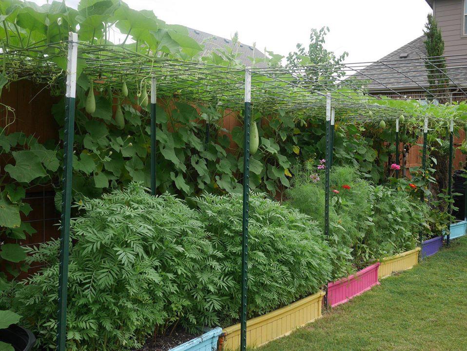 Khu vườn rộng 1000m² với đủ loại rau Việt do con gái tặng mẹ trên đất Mỹ xa xôi-4