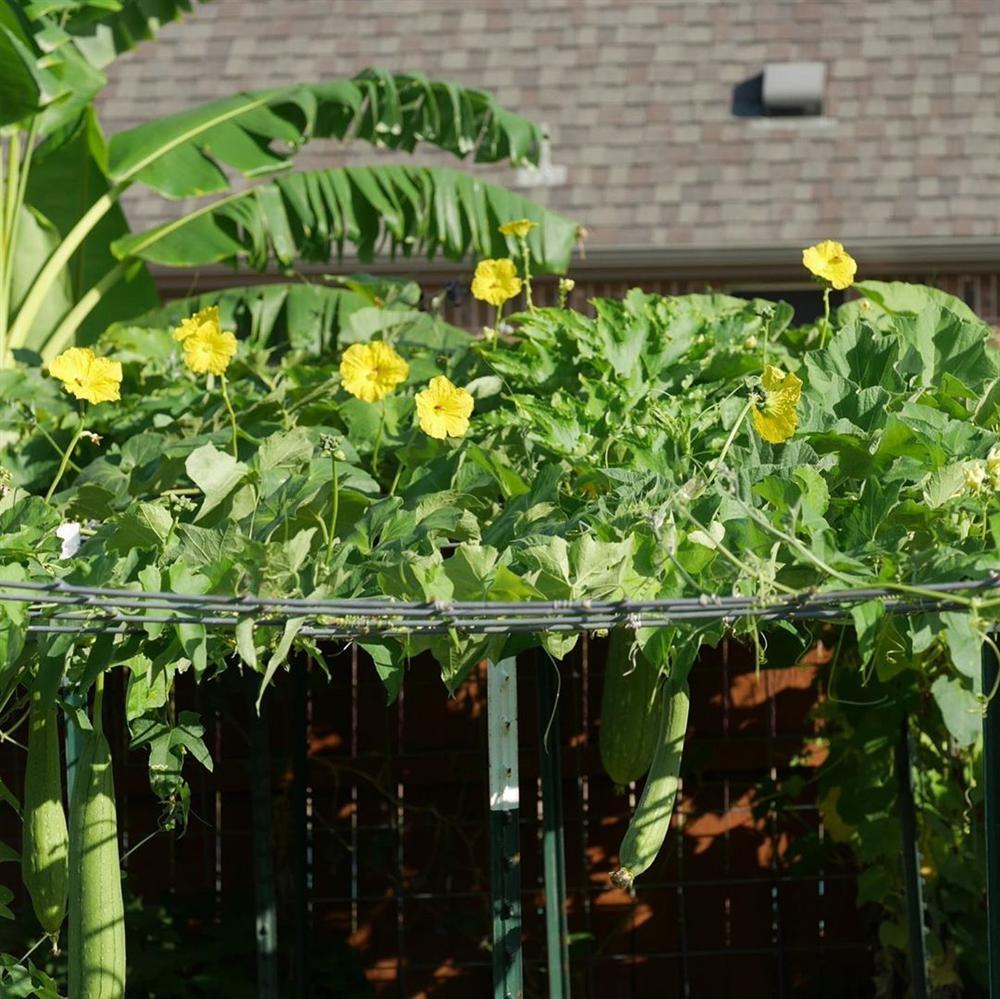 Khu vườn rộng 1000m² với đủ loại rau Việt do con gái tặng mẹ trên đất Mỹ xa xôi-28