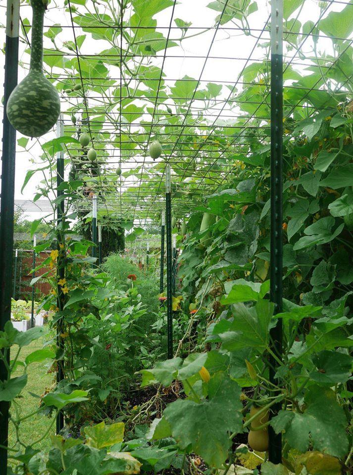 Khu vườn rộng 1000m² với đủ loại rau Việt do con gái tặng mẹ trên đất Mỹ xa xôi-35