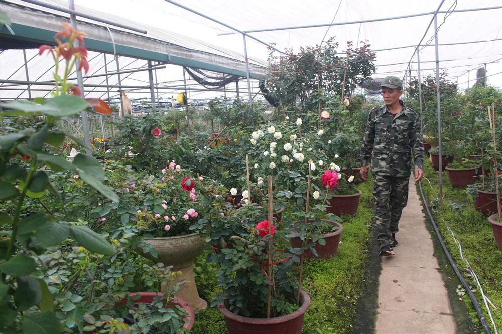 Vườn hoa hồng ngoại khủng 2 vạn cây của U60 ở làng hoa Xuân Quan-2