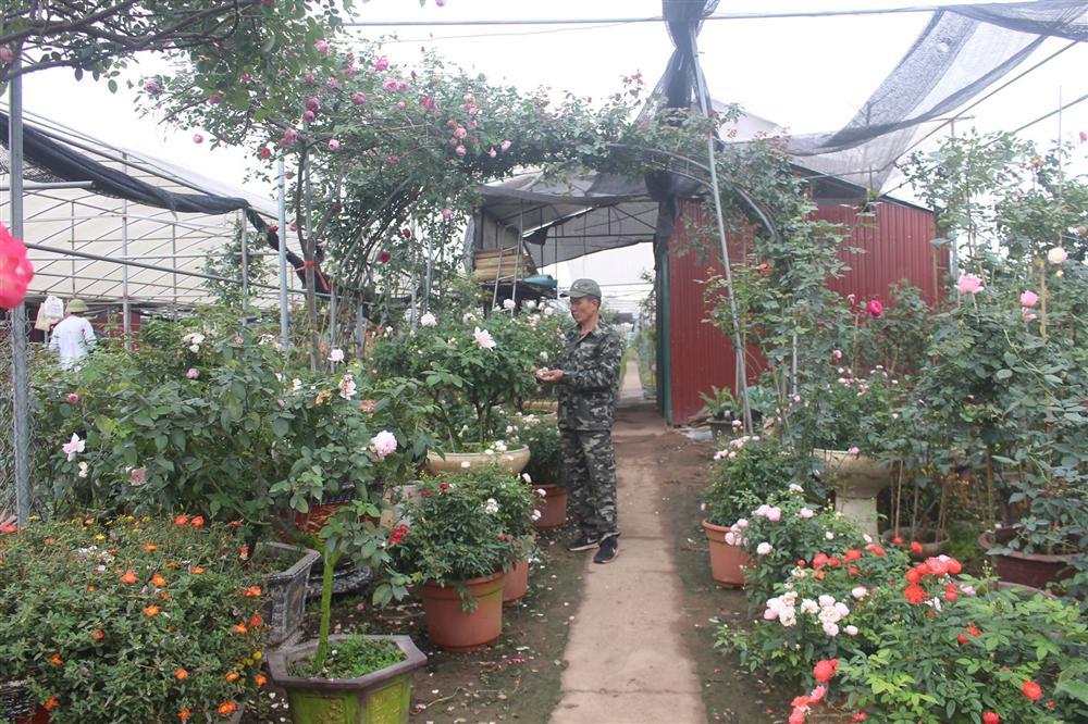 Vườn hoa hồng ngoại khủng 2 vạn cây của U60 ở làng hoa Xuân Quan-3