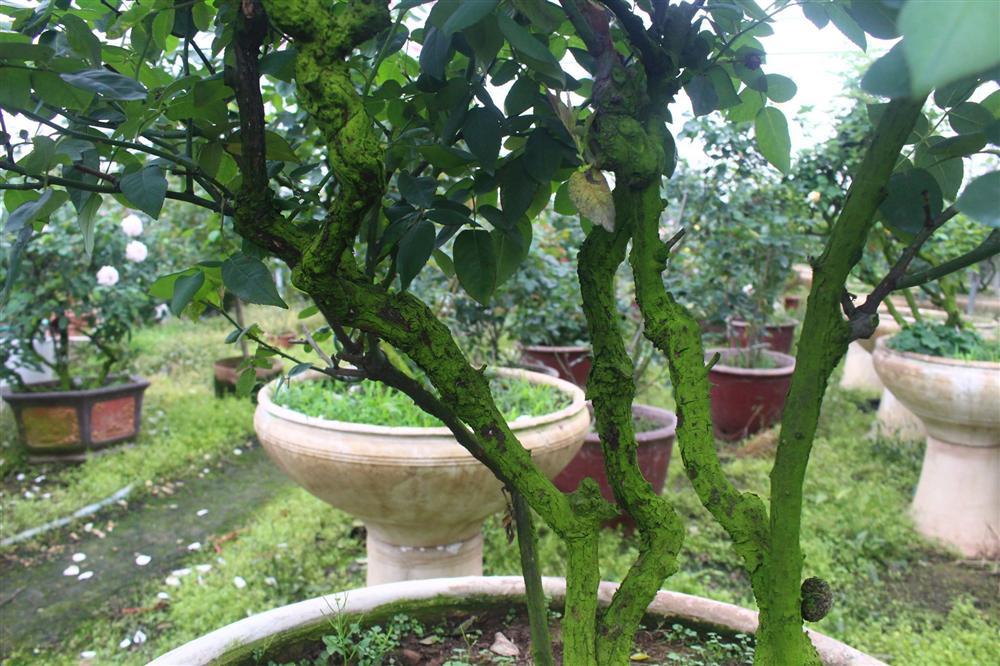 Vườn hoa hồng ngoại khủng 2 vạn cây của U60 ở làng hoa Xuân Quan-5
