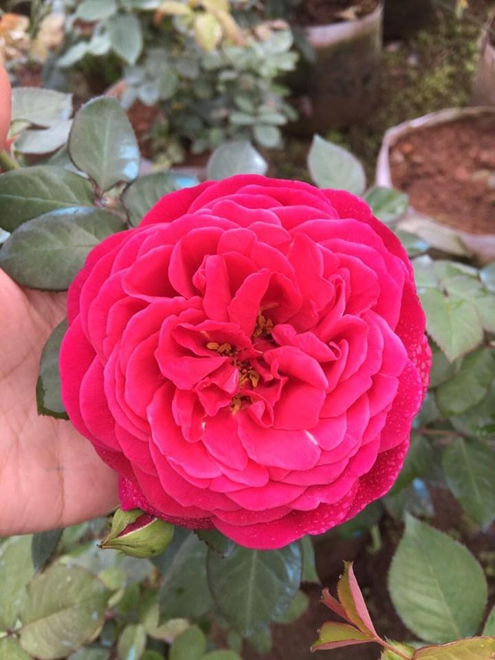 Vườn hoa hồng ngoại khủng 2 vạn cây của U60 ở làng hoa Xuân Quan-6