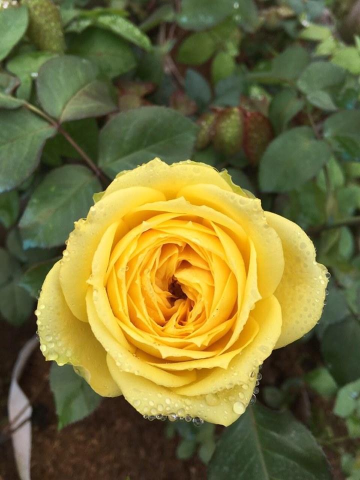 Vườn hoa hồng ngoại khủng 2 vạn cây của U60 ở làng hoa Xuân Quan-7