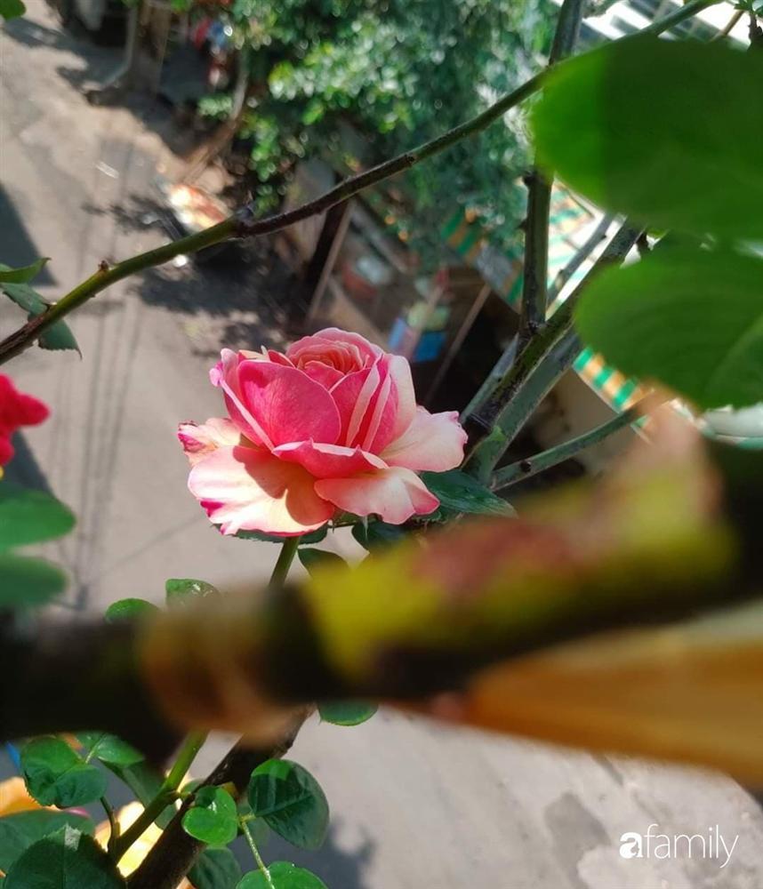 Ngôi nhà đẹp yên bình, lãng mạn nhờ người đàn ông đảm đang tự decor vườn và trồng đủ loại hồng ở Sài Gòn-9