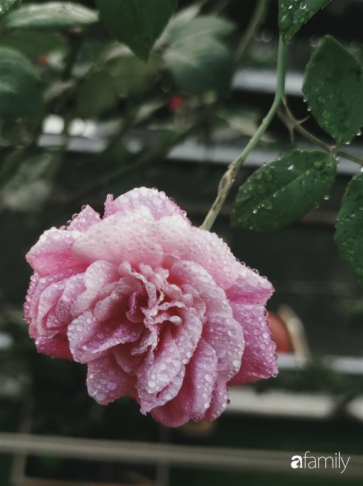 Ngôi nhà đẹp yên bình, lãng mạn nhờ người đàn ông đảm đang tự decor vườn và trồng đủ loại hồng ở Sài Gòn-10