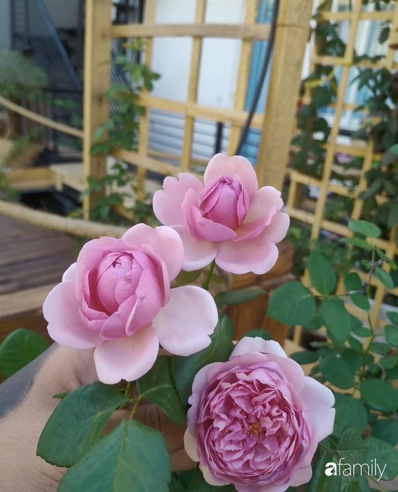 Ngôi nhà đẹp yên bình, lãng mạn nhờ người đàn ông đảm đang tự decor vườn và trồng đủ loại hồng ở Sài Gòn-11