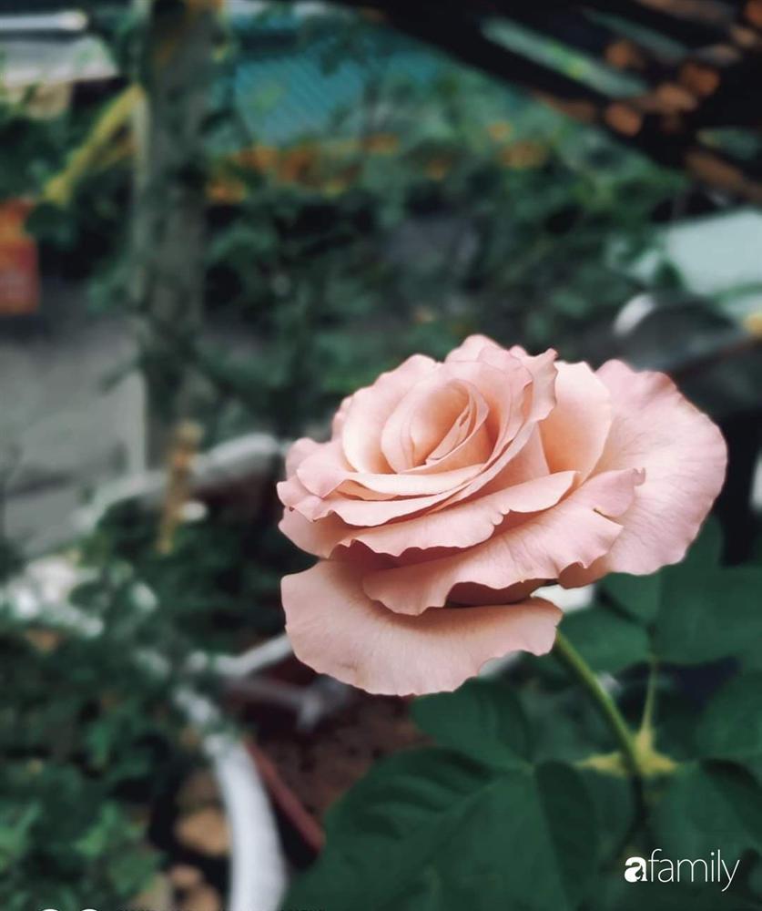 Ngôi nhà đẹp yên bình, lãng mạn nhờ người đàn ông đảm đang tự decor vườn và trồng đủ loại hồng ở Sài Gòn-12
