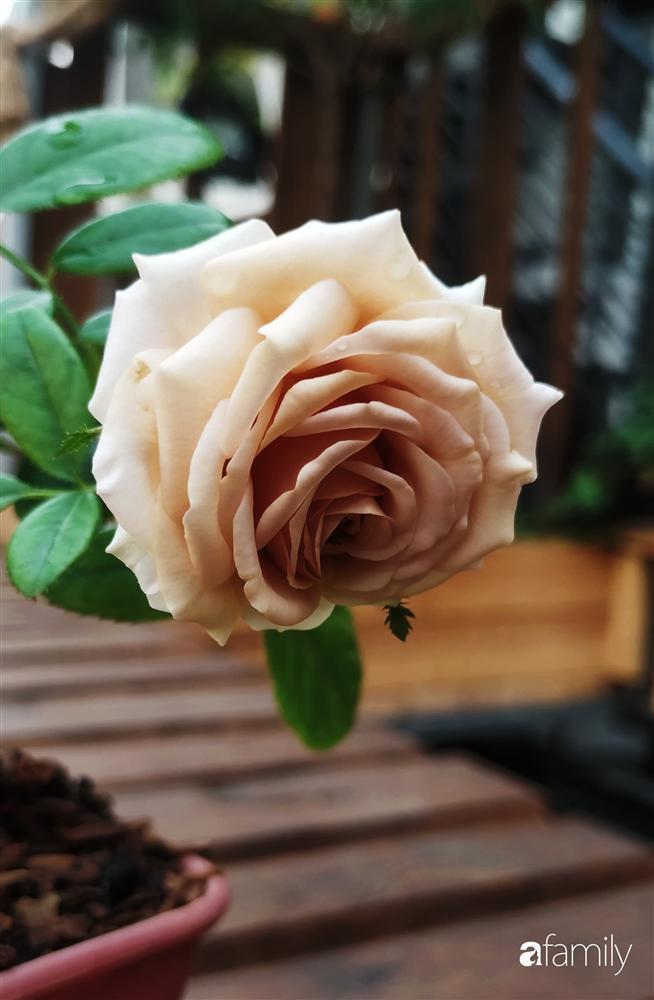 Ngôi nhà đẹp yên bình, lãng mạn nhờ người đàn ông đảm đang tự decor vườn và trồng đủ loại hồng ở Sài Gòn-16