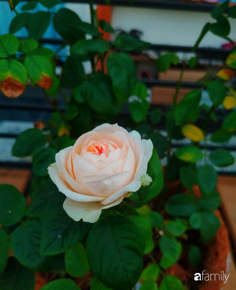 Ngôi nhà đẹp yên bình, lãng mạn nhờ người đàn ông đảm đang tự decor vườn và trồng đủ loại hồng ở Sài Gòn-18