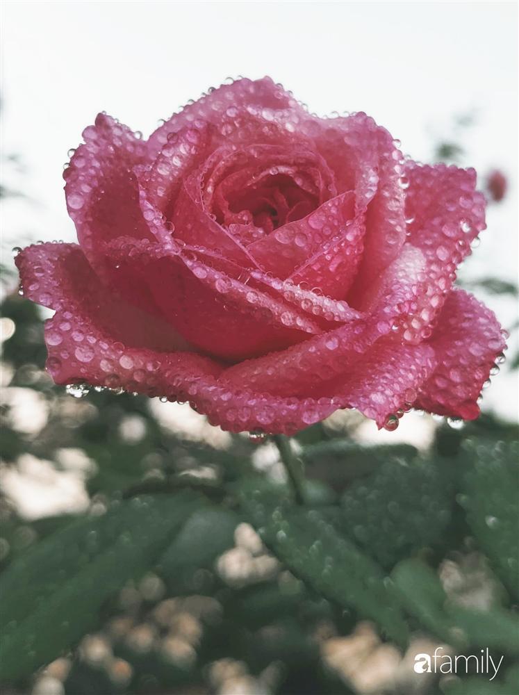 Ngôi nhà đẹp yên bình, lãng mạn nhờ người đàn ông đảm đang tự decor vườn và trồng đủ loại hồng ở Sài Gòn-21