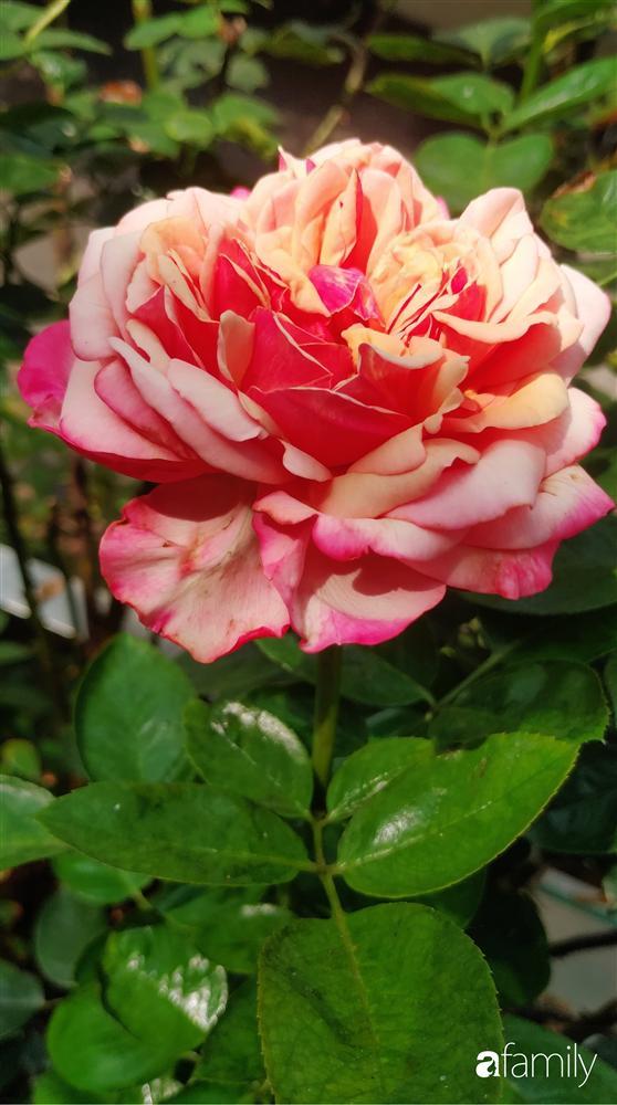Ngôi nhà đẹp yên bình, lãng mạn nhờ người đàn ông đảm đang tự decor vườn và trồng đủ loại hồng ở Sài Gòn-29