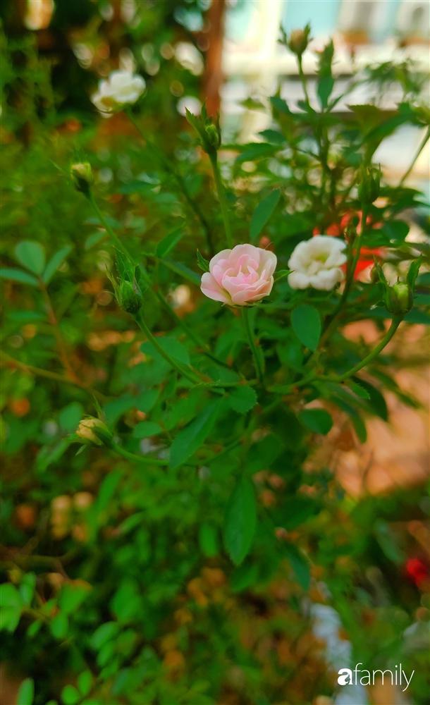 Ngôi nhà đẹp yên bình, lãng mạn nhờ người đàn ông đảm đang tự decor vườn và trồng đủ loại hồng ở Sài Gòn-34