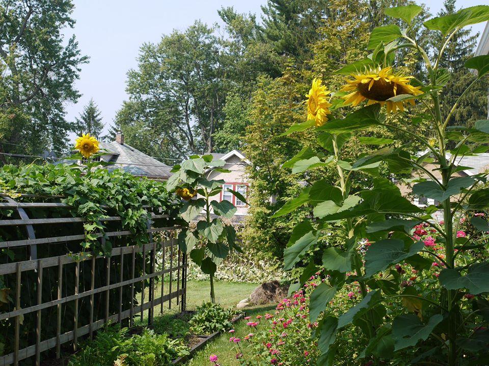 Khu vườn đủ loại rau quả đẹp như tranh của người phụ nữ trồng trọt từ năm 16 tuổi đến 63 tuổi-1