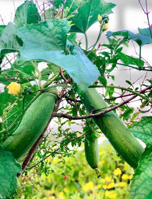 Ở nhà tránh dịch, Quyền Linh cùng vợ con lên sân thượng gỡ khoai lang, thu hoạch hoa trái-4