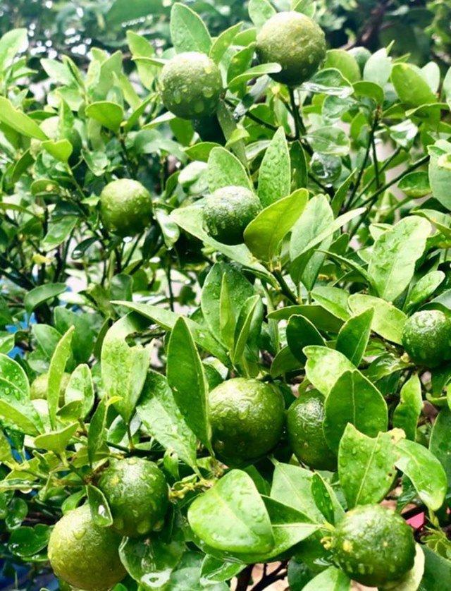 Ở nhà tránh dịch, Quyền Linh cùng vợ con lên sân thượng gỡ khoai lang, thu hoạch hoa trái-5