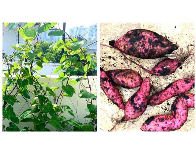 Ở nhà tránh dịch, Quyền Linh cùng vợ con lên sân thượng gỡ khoai lang, thu hoạch hoa trái-6