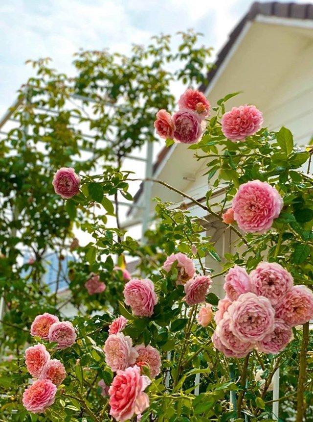Ở nhà tránh dịch, Quyền Linh cùng vợ con lên sân thượng gỡ khoai lang, thu hoạch hoa trái-7