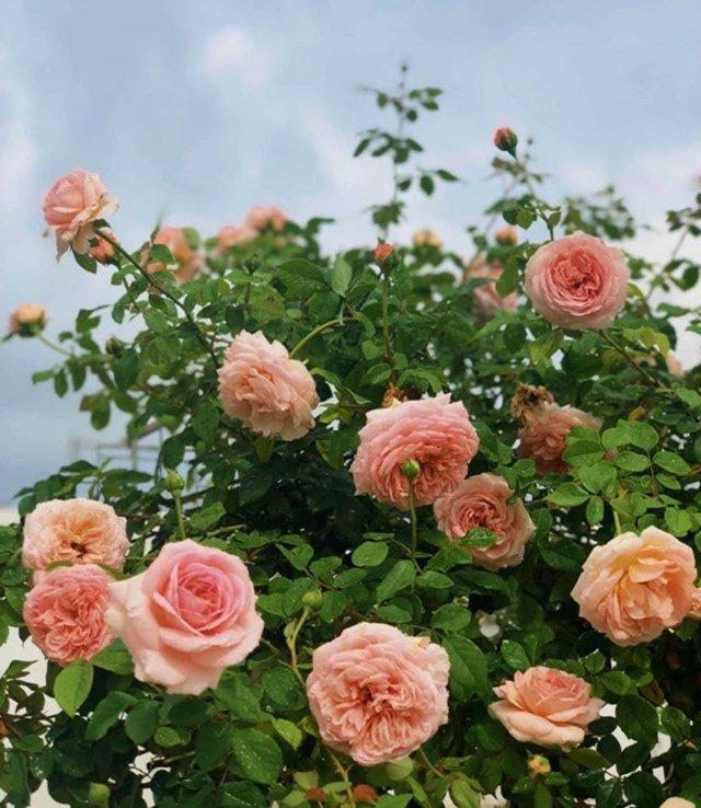 Ở nhà tránh dịch, Quyền Linh cùng vợ con lên sân thượng gỡ khoai lang, thu hoạch hoa trái-8