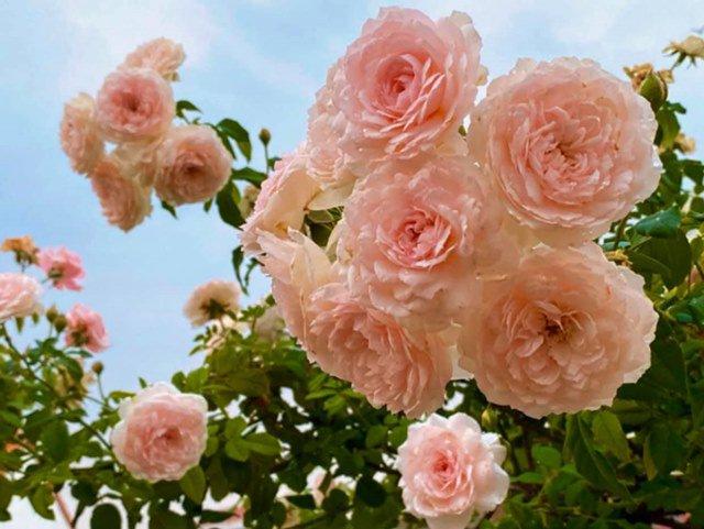 Ở nhà tránh dịch, Quyền Linh cùng vợ con lên sân thượng gỡ khoai lang, thu hoạch hoa trái-9