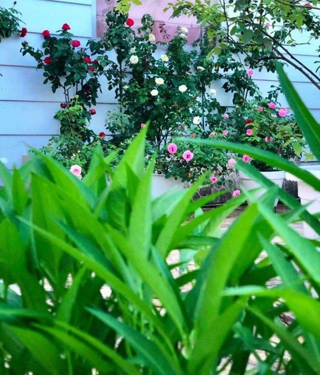 Ở nhà tránh dịch, Quyền Linh cùng vợ con lên sân thượng gỡ khoai lang, thu hoạch hoa trái-11