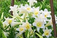 Hoa loa kèn rợp phố Hà Nội, rẻ bằng nửa năm ngoái nhưng không mấy ai mua