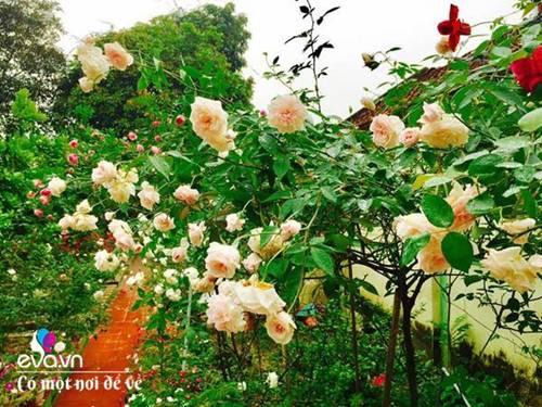 Cô giáo xứ Thanh cải tạo vườn trống, 4 năm sau có ngôi nhà hoa hồng đẹp như mơ-2