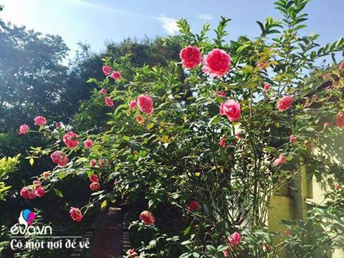Cô giáo xứ Thanh cải tạo vườn trống, 4 năm sau có ngôi nhà hoa hồng đẹp như mơ-3