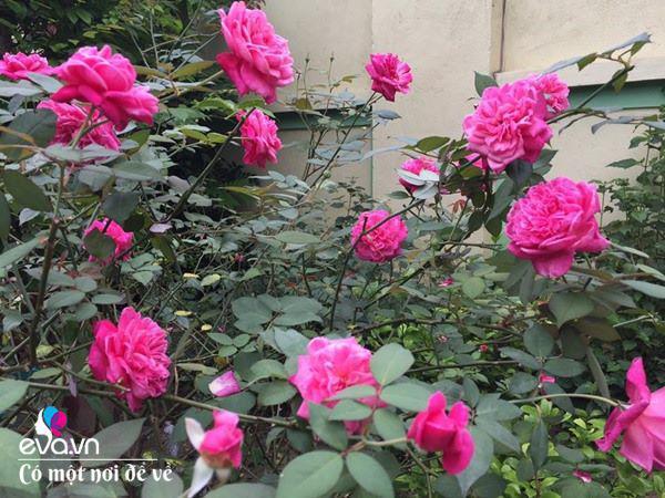 Cô giáo xứ Thanh cải tạo vườn trống, 4 năm sau có ngôi nhà hoa hồng đẹp như mơ-7