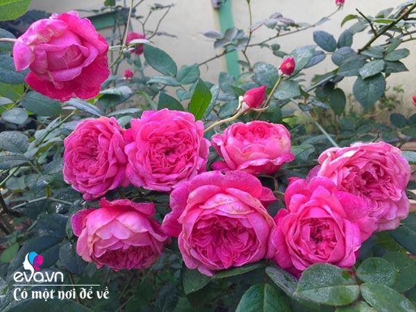 Cô giáo xứ Thanh cải tạo vườn trống, 4 năm sau có ngôi nhà hoa hồng đẹp như mơ-8