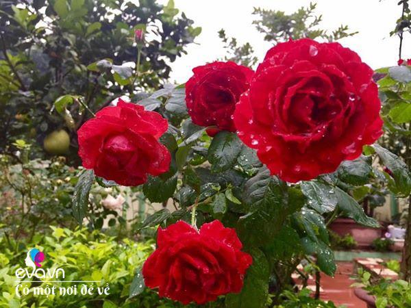 Cô giáo xứ Thanh cải tạo vườn trống, 4 năm sau có ngôi nhà hoa hồng đẹp như mơ-9