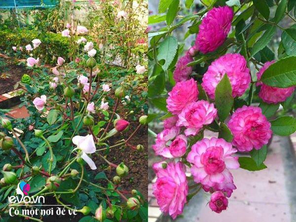 Cô giáo xứ Thanh cải tạo vườn trống, 4 năm sau có ngôi nhà hoa hồng đẹp như mơ-10