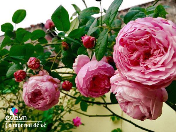 Cô giáo xứ Thanh cải tạo vườn trống, 4 năm sau có ngôi nhà hoa hồng đẹp như mơ-11