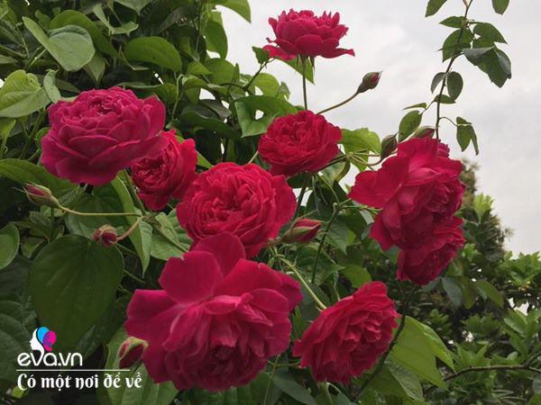 Cô giáo xứ Thanh cải tạo vườn trống, 4 năm sau có ngôi nhà hoa hồng đẹp như mơ-12