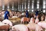 Lợn hơi về 70.000 đồng/kg, giá thịt bán ra vẫn cao-2