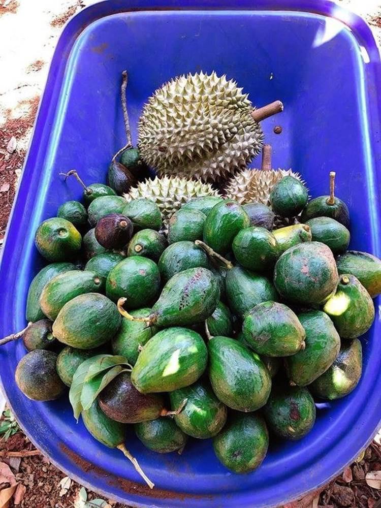 Về quê tránh dịch, Lý Nhã Kỳ đẩy xe rùa đi thu hoạch hoa quả trong nông trại 50 hecta-2