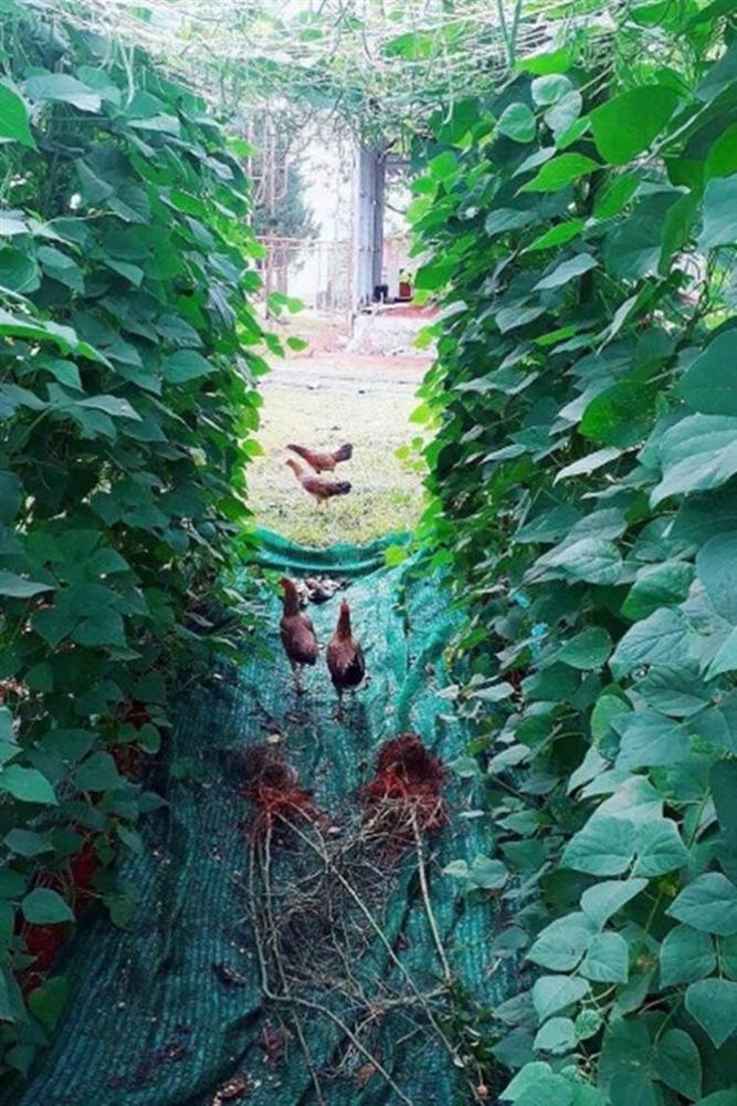 Về quê tránh dịch, Lý Nhã Kỳ đẩy xe rùa đi thu hoạch hoa quả trong nông trại 50 hecta-5