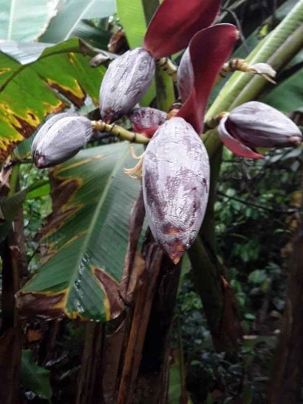Cây su hào đặc biệt, củ mọc sai trĩu như cây ăn quả khiến dân mạng bất ngờ-4