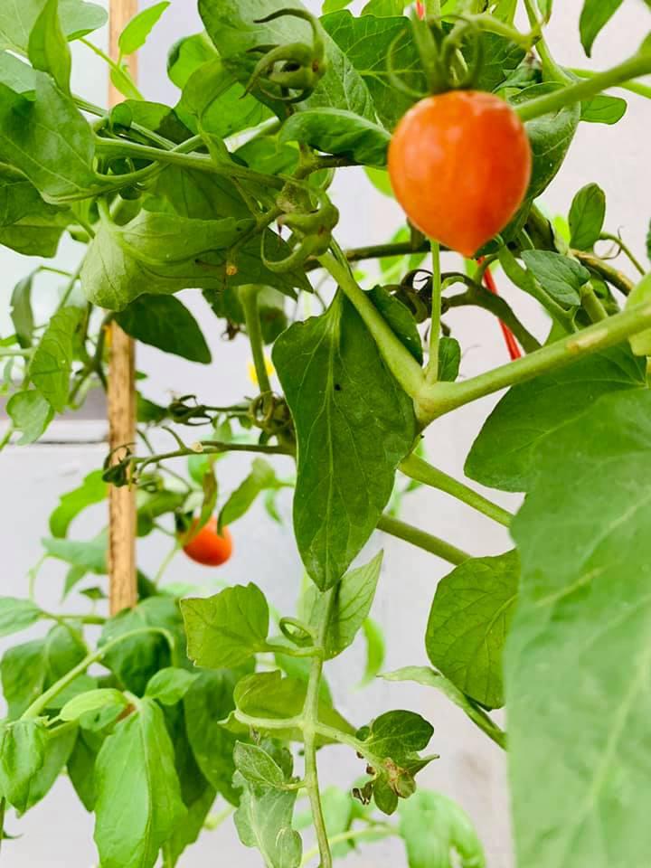Khu vườn ngập hoa quả và rau xanh tại biệt thự của Hoa hậu Nguyễn Thị Huyền-8