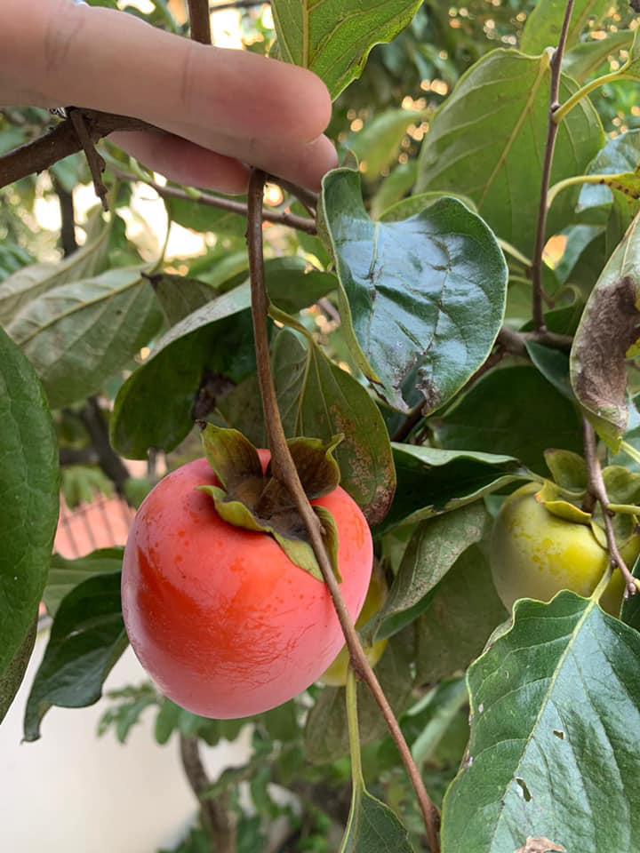 Khu vườn ngập hoa quả và rau xanh tại biệt thự của Hoa hậu Nguyễn Thị Huyền-17