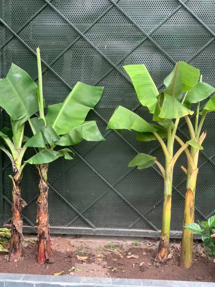 Khu vườn ngập hoa quả và rau xanh tại biệt thự của Hoa hậu Nguyễn Thị Huyền-23