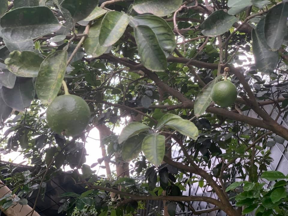 Khu vườn ngập hoa quả và rau xanh tại biệt thự của Hoa hậu Nguyễn Thị Huyền-25