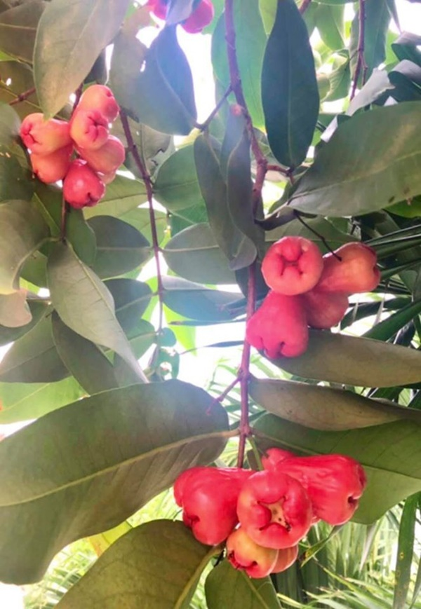 Quyền Linhvà nhiều sao Việt chăm vườn trái cây khi về quê-15